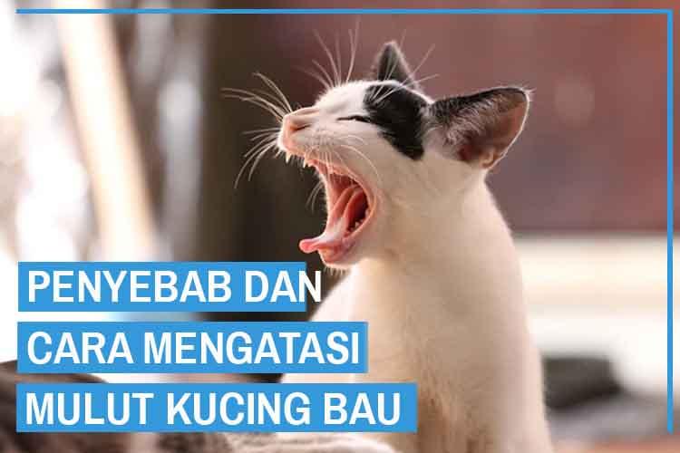 Penyebab dan Cara Mengatasi Mulut Kucing Bau