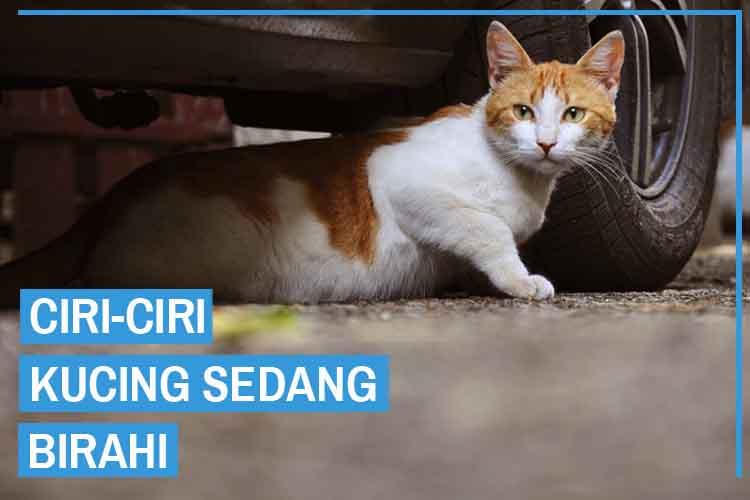 Ciri-Ciri Kucing Birahi Untuk Jantan dan Betina