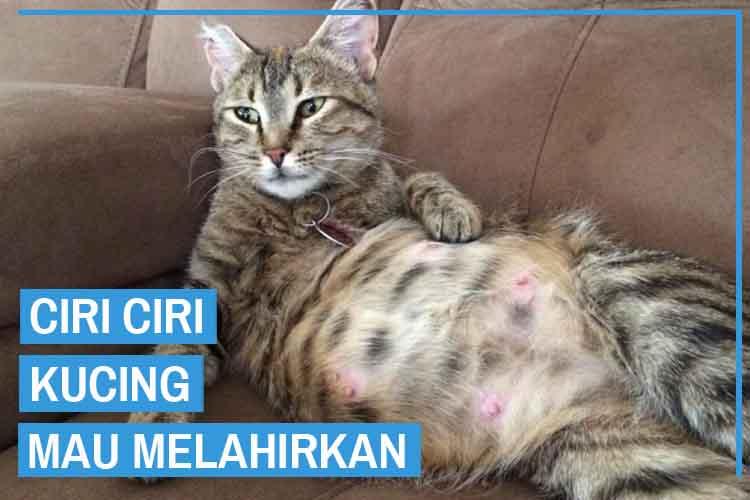 Perhatikan! 9 Ciri Ciri Kucing Mau Melahirkan