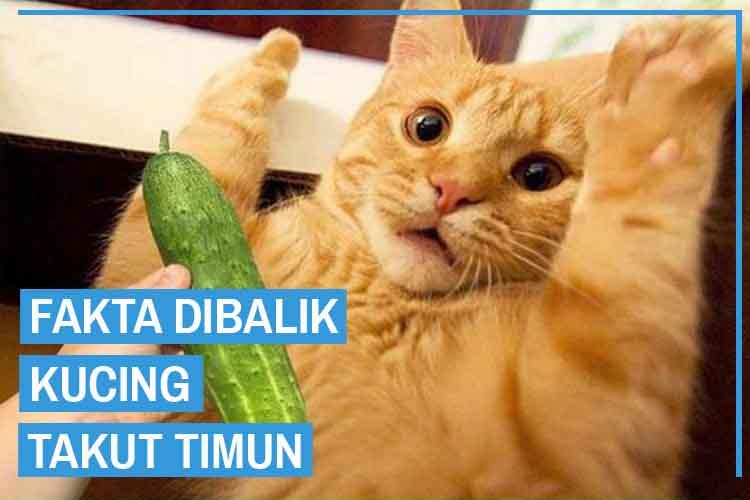 Fakta Dibalik Kucing Takut Timun dari Para Pakar