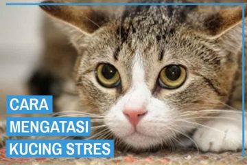 cara mengatasi kucing stres