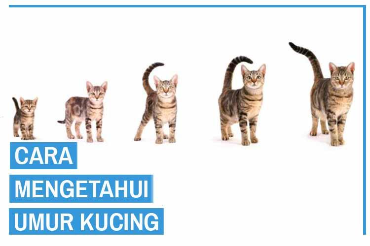 12 Cara Mengetahui Umur Kucing dari Para Ahli