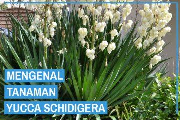 Tanaman Yucca Schidigera
