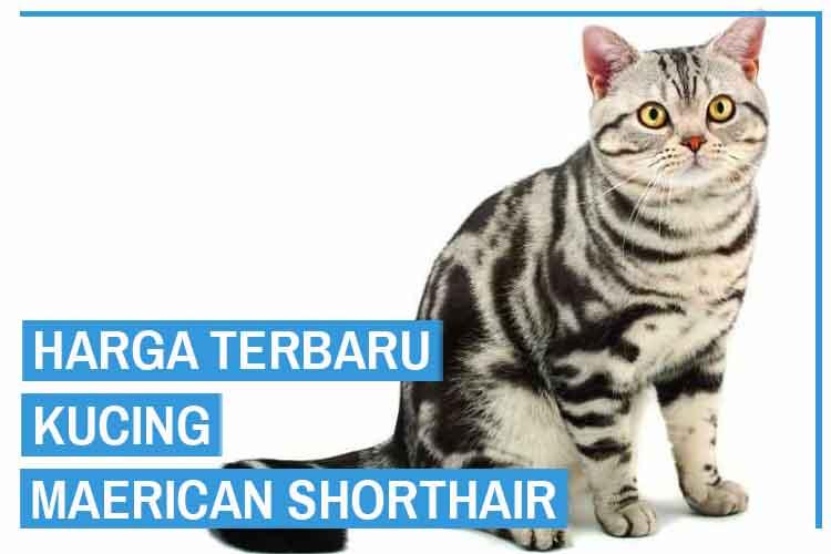Update! Harga Kucing American Shorthair Terbaru 2020