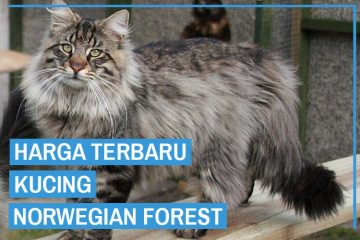 harga kucing norwegian forest
