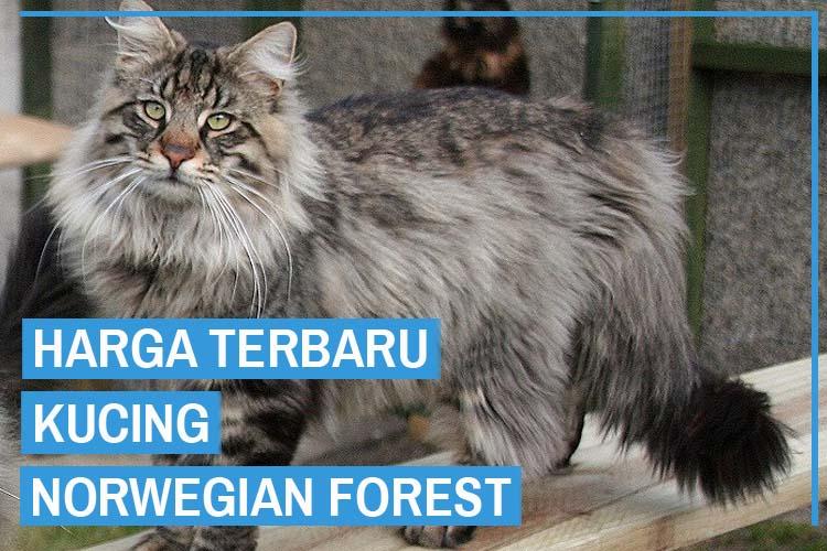 Update! Harga Kucing Norwegian Forest Terbaru 2020