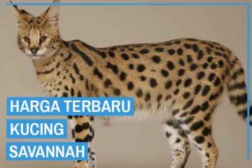 harga kucing savannah terbaru