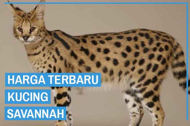 Update! Harga Kucing Savannah Terbaru 2020