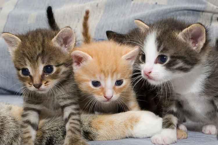 Jenis Dan Karakter Kucing Kampung Kucingklik Com