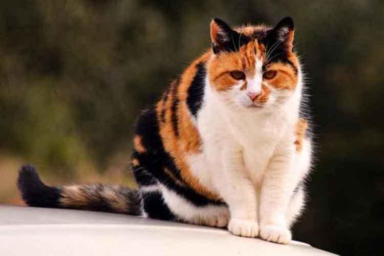 Mengenal Warna Dan Pola Bulu Kucing Kucingklik Com