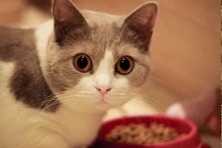 Ilustrasi Nafsu Makan Kucing Berkurang