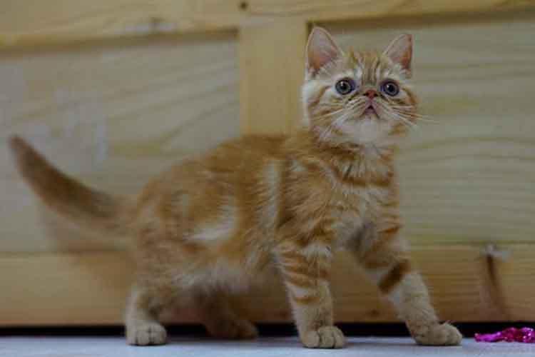Kepribadian Kucing Exotic Shorthair