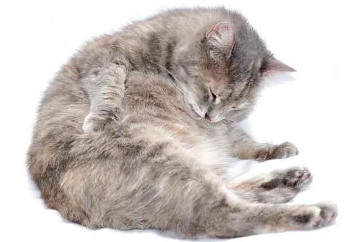 Kucing Hamil Yang Muntah