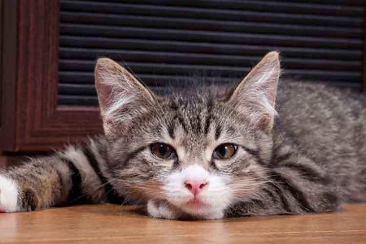 Kucing Lesu Dan Lemas Akibat Cacingan