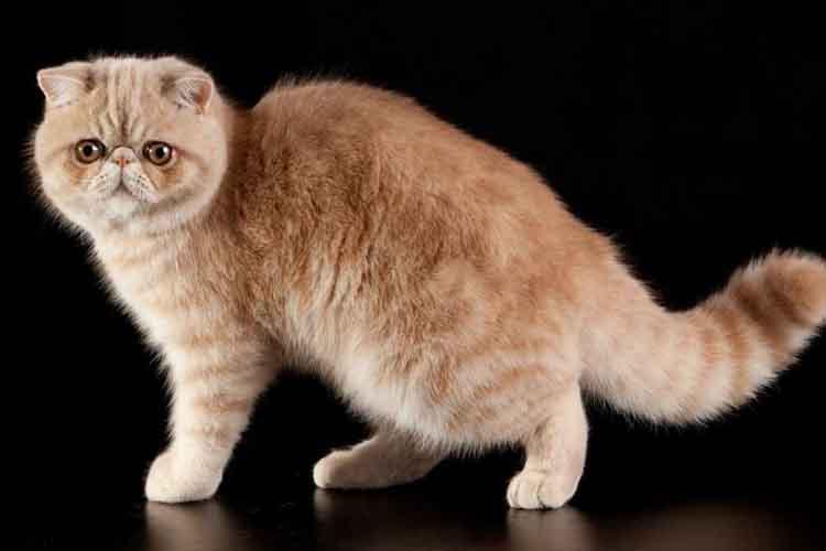 Kucing Persia Eksotis