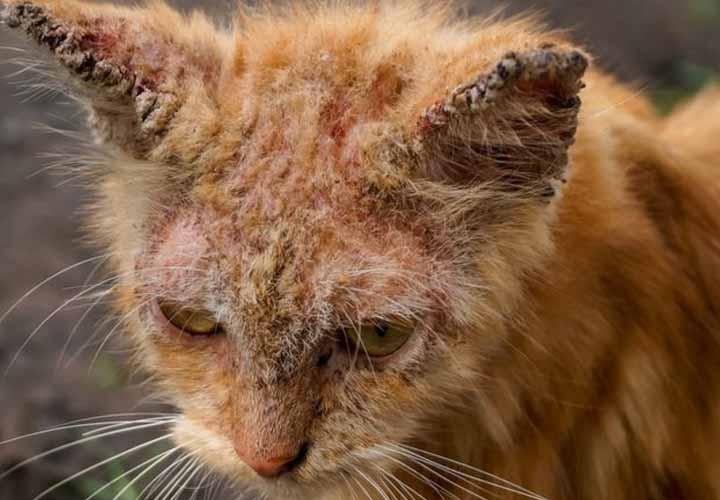 Penyebab Kucing Scabies