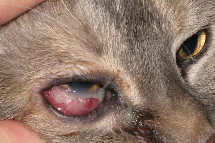 Mata kucing berair karena benda asing