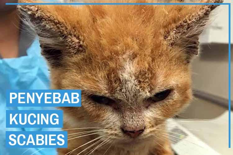 Penyebab Scabies Pada Kucing Atau Kudisan