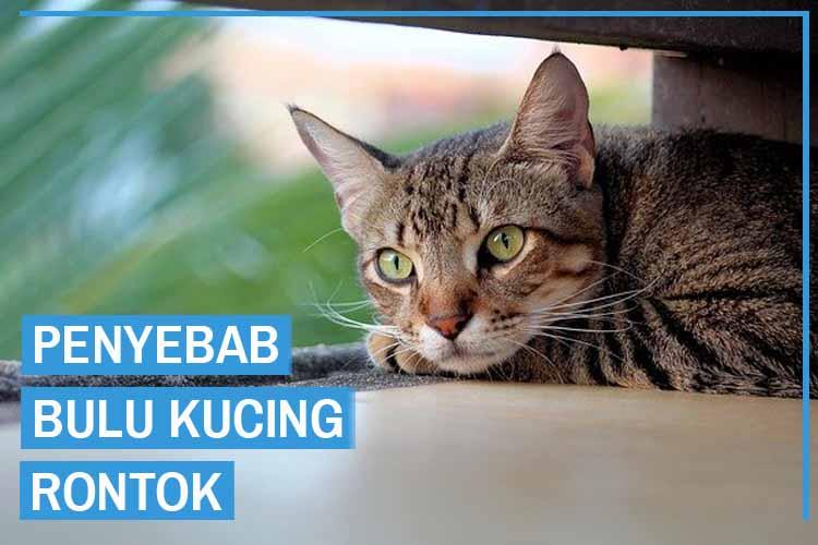 11 Penyebab Bulu Kucing Rontok, Kenali Sejak Dini