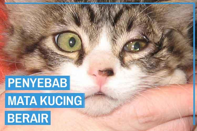 10 Penyebab Mata Kucing Berair, Kenai Sejak Dini