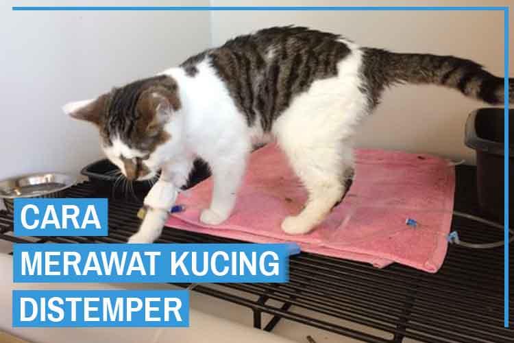 cara merawat kucing distemper