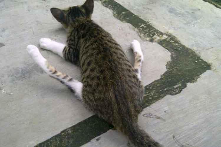 Kucing Menyeret Pantat