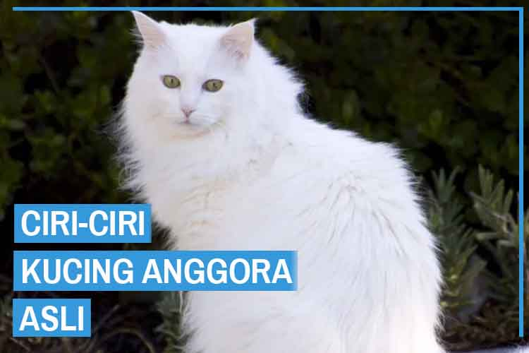 Ciri Ciri Kucing Anggora Asli