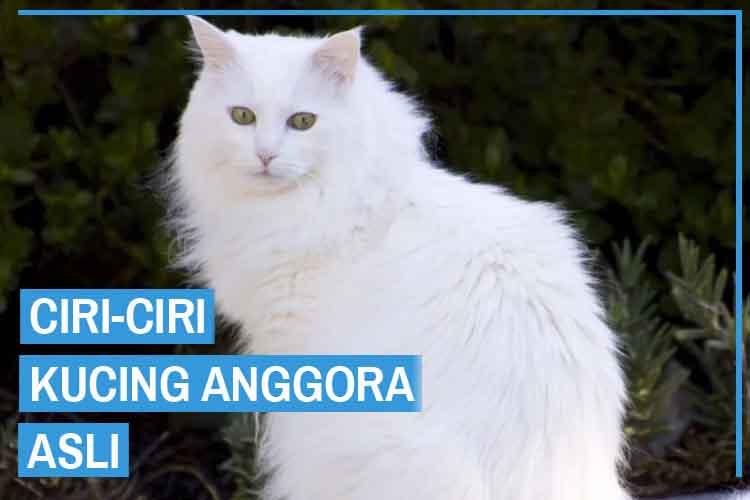 Ciri Ciri Kucing Anggora Asli (Fisik dan Sifat)
