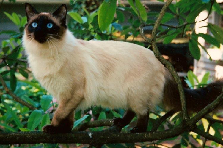 Ciri Fisik Kucing Balinese