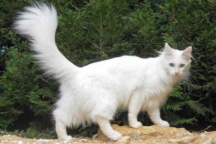 Ciri Fisik Kucing Anggora