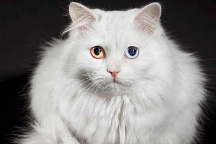 Kucing Anggora dengan Warna Mata Ganjil
