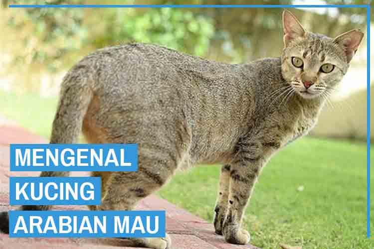Mengenal Ras Kucing Arabian Mau