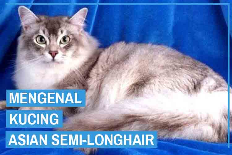 Mengenal Kucing Asian Semi-Longhair