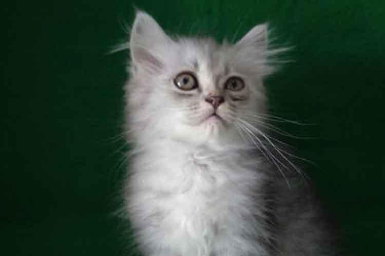 Kucing Persia Medium Longhair