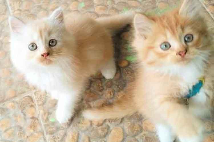 Kucing Persia Medium Bulu Panjang