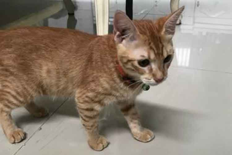 Kucing Persia Medium Bulu Pendek