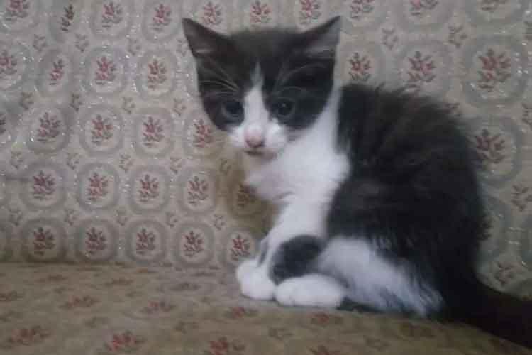 Kucing Persia Medium Long Hair