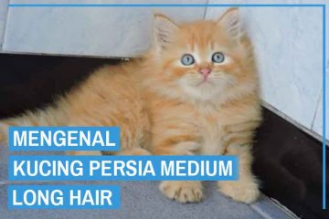 Kucing Persia Medium Long Hair