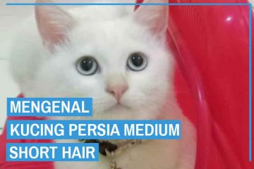 Kucing Persia Medium Short Hair