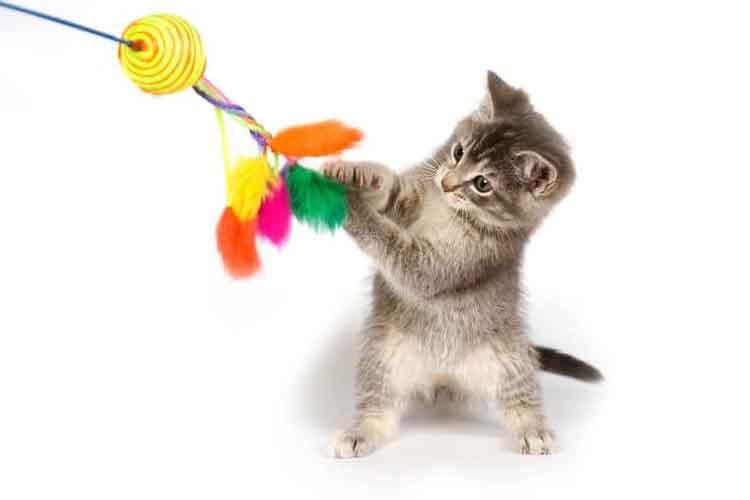 Melatih Kucing Kampung Lucu