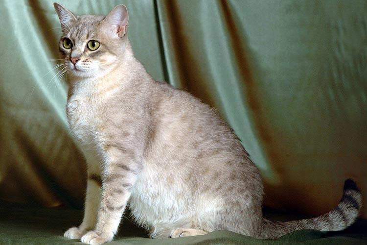Merawat Kucing Australian Mist
