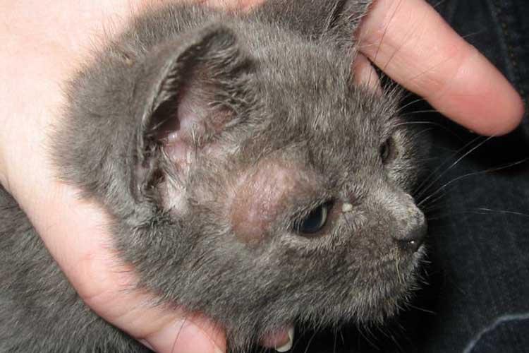 Penyakit kulit pada kucing ringworm