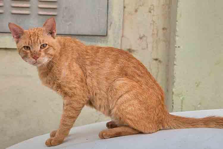 Ras Kucing Arabian Mau