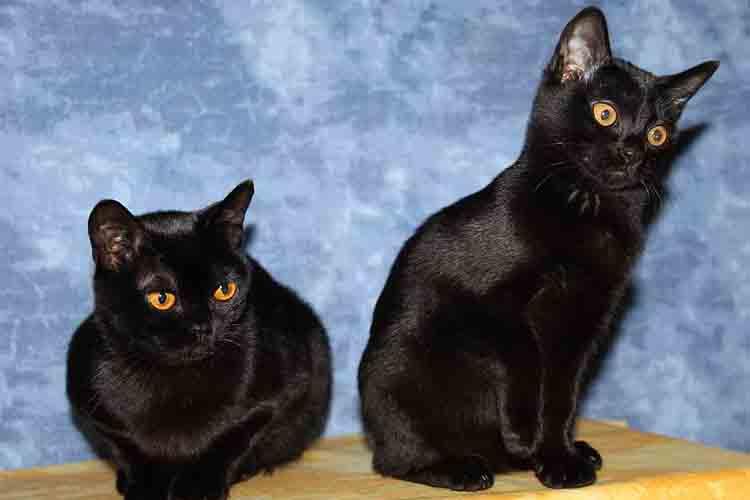 Ras Kucing Asia