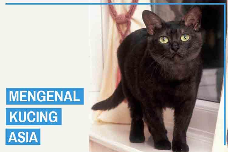 Mengenal Ras Kucing Asia (Kucing Malaya)
