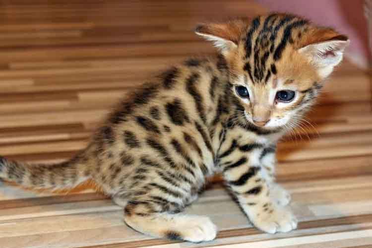 Ras Kucing Belang