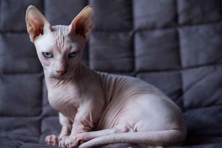 Sifat Kucing Bambino