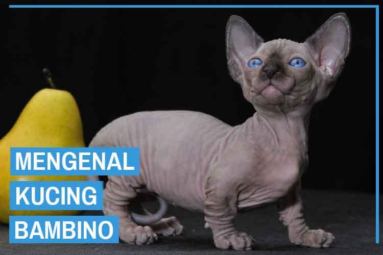 Mengenal Ras Kucing Bambino (Bambino Cat)