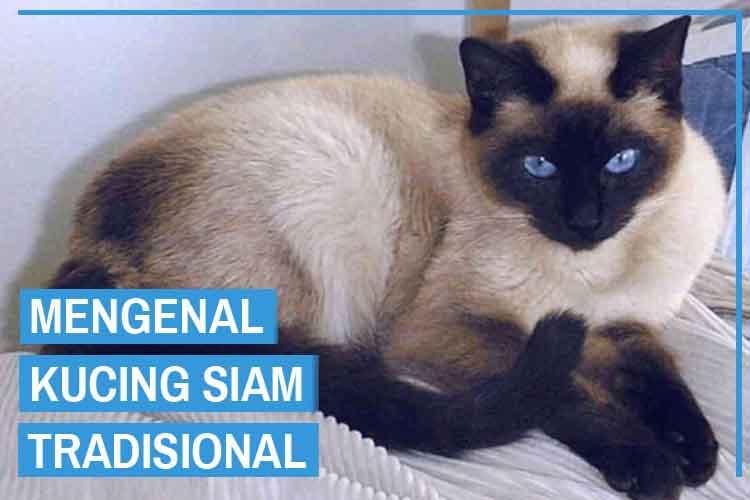Mengenal Kucing Siam Tradisional Beserta Harganya