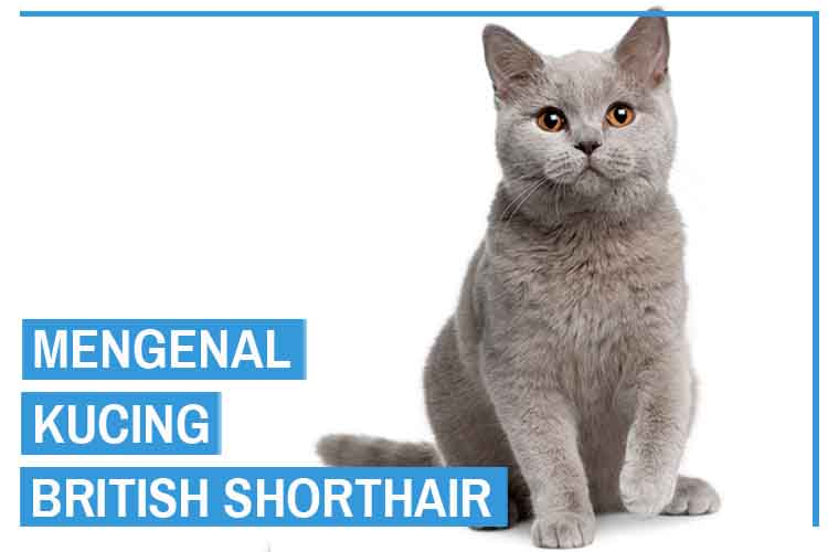 Mengenal Kucing British Shorthair